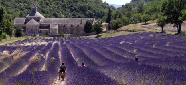 Lavendel bedroht