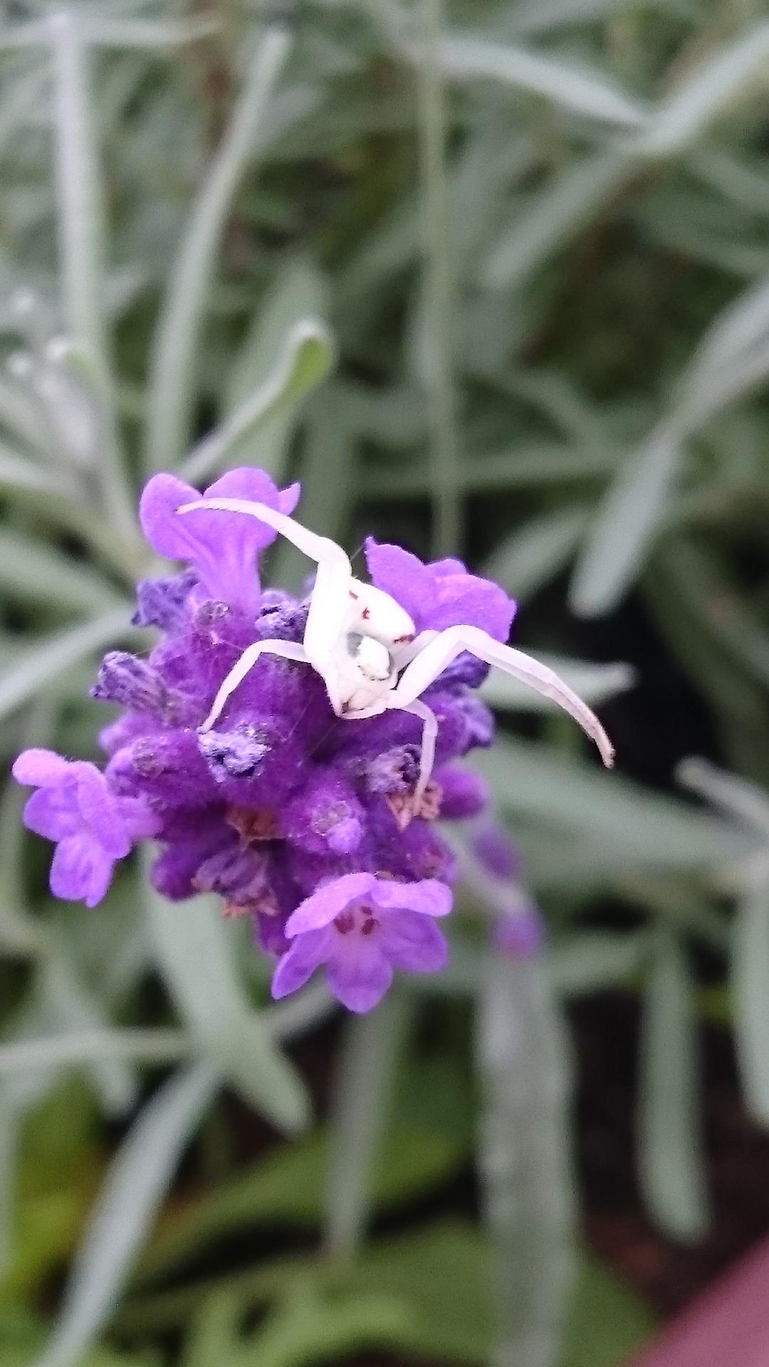 echter lavendel lavandula angustifolia dr schweikart. Black Bedroom Furniture Sets. Home Design Ideas
