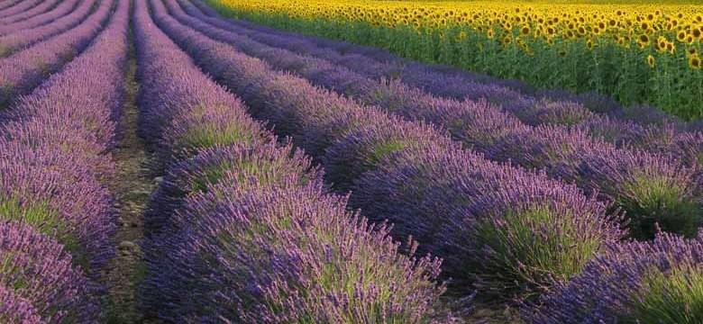 Lavendelanbau Provence