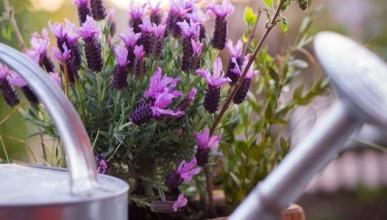 Pflege von Lavendel
