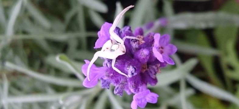 Lavendel Nebenwirkungen