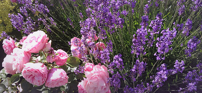Prächtig Lavendel-und-Rosen - @GZ_69