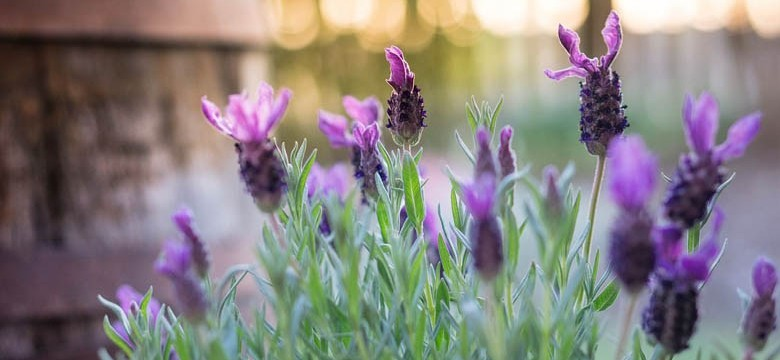 Lavendelöl Stoechas (Schopflavendel)