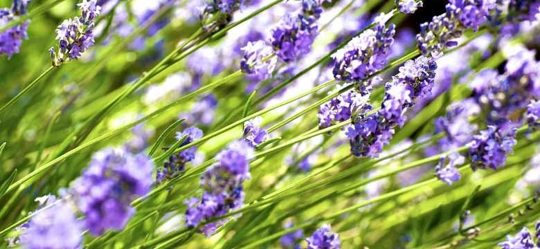 Lavendel Schneiden: Schere