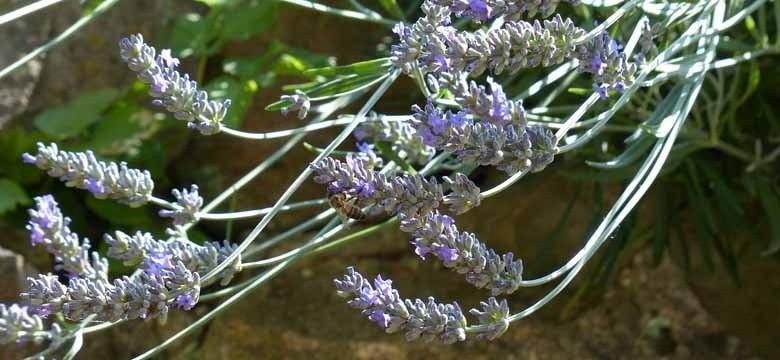 Lavendel: Wie kurz schneiden