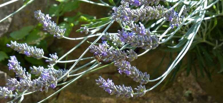 Lavendel Wie Kurz Schneiden Dr Schweikart