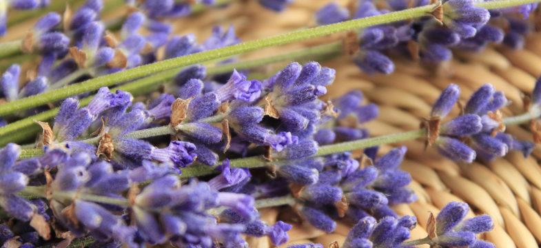 Lavendel Verschnitt