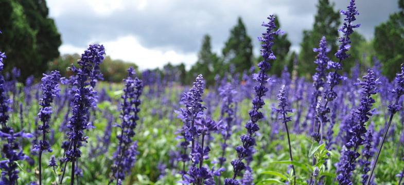 Lavendelöl im Vergleich zu Lavendeltee