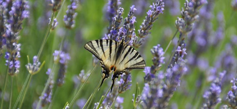 Lavendelöl Latifolia (Speiklavendel)