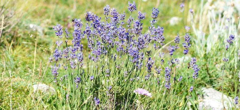 Lavendelöl Lanata (Wolliger Lavendel)
