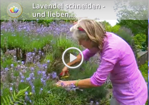 lavendel im garten dr schweikart. Black Bedroom Furniture Sets. Home Design Ideas